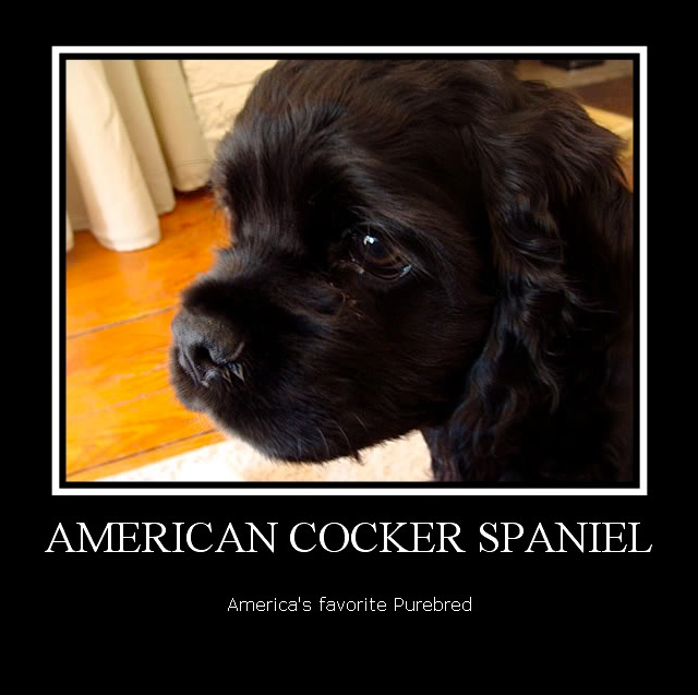 Cute Black Cocker Pup Cocker Spaniel American Cocker Spaniel