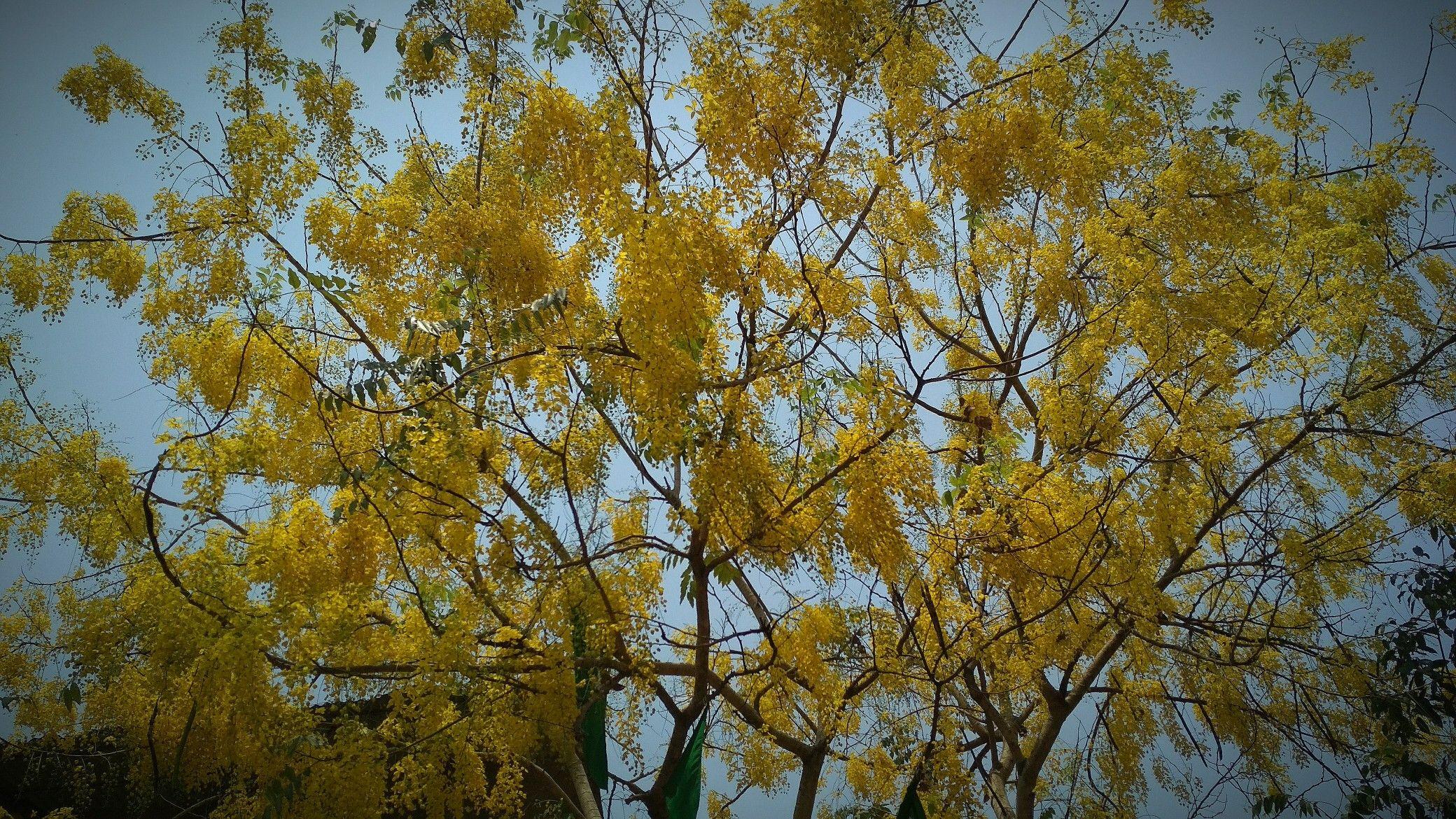 Kanikkonna vishukani Cassia fistula, known as the golden