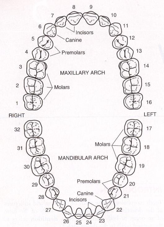 Tooth Numbering Chart Google Search Health And Beauty