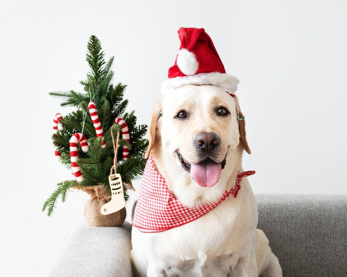 Cute Labrador Retriever Wearing A Christmas Hat Free Image By Rawpixel Com Jira Labrador Christmas Hat Labrador Retriever