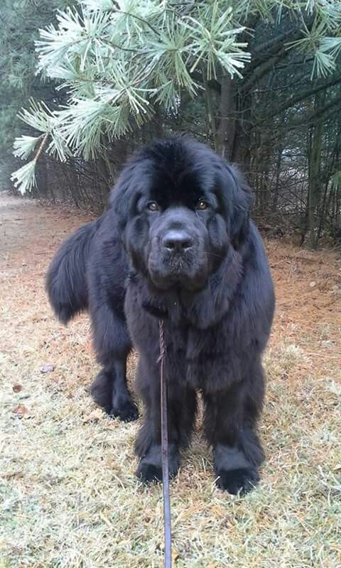 Beautiful Newfoundland Dog Largestdogs Largedogs Bigdogs Animals Dogs Dogs Newfoundland Dog Large Dog Breeds