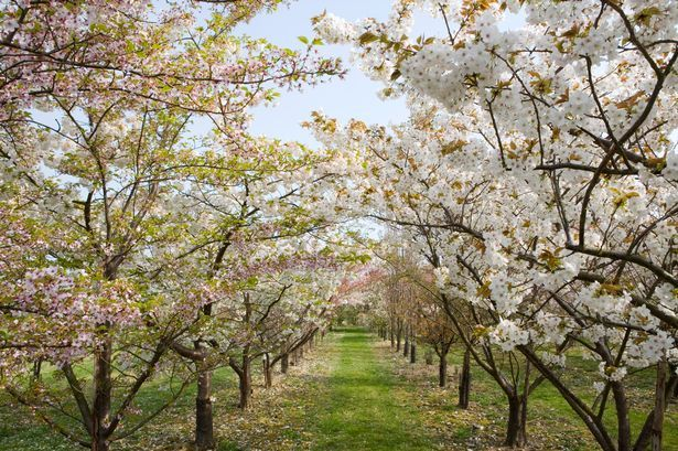 The Romance Of A Flowering Cherry Blossom Planting Cherry Trees Growing Cherry Trees Trees To Plant