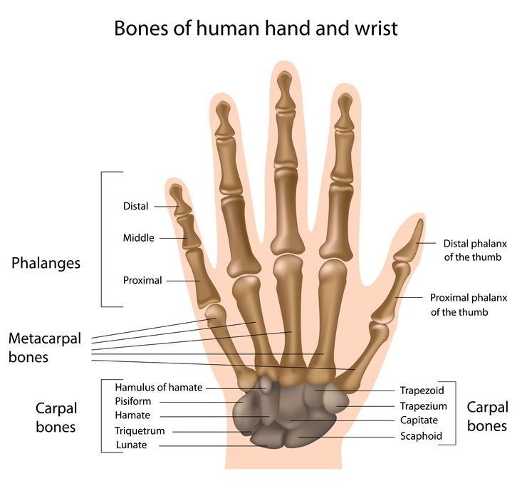 bones of the human hand and wrist | patient education-hand,wrist, Sphenoid