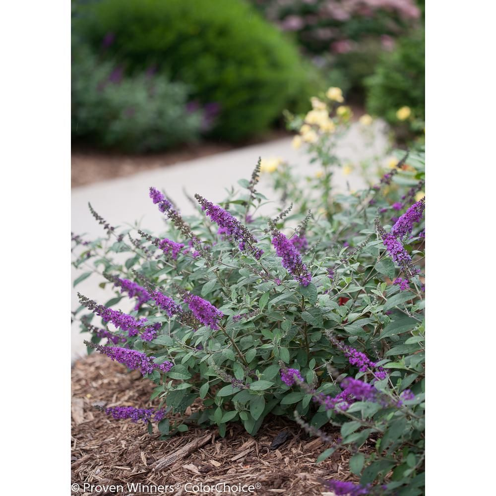 Shrubs with purple flowers pictures - Lo And Behold Blue Chip Jr Butterfly Bush Buddleia Live Shrub Blue Purple Flowers 1 Gal