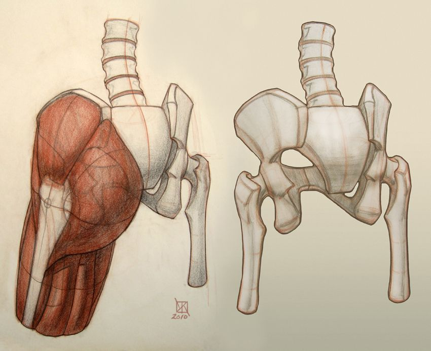 Anatomy of the pelvis, sacrum, greater trochanter, gluteus maximus ...