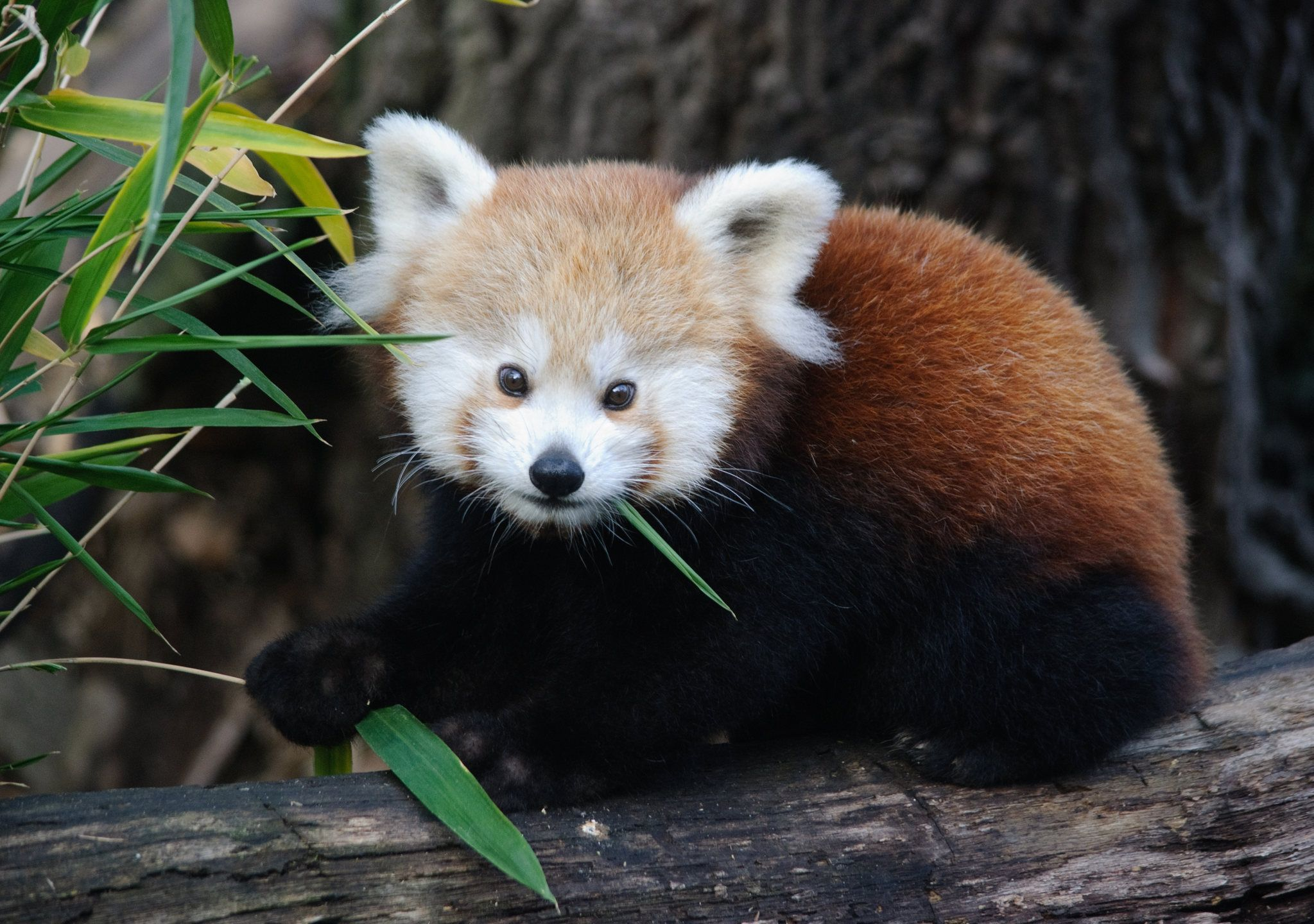 Baby Red Panda Eating Leaves Red Pandas Rarely Eat Anything Other Than Young Bamboo Leaves And A Few Insects Baby Animals Cute Animals Animals