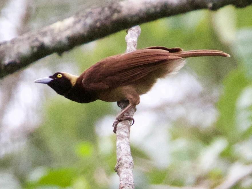 Raggiana Bird Of Paradise Ebird In 2021 Bird Birds Of Paradise Species