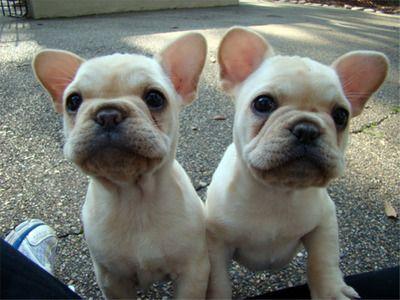 Twins White French Bulldog Puppies Bulldog French Bulldog