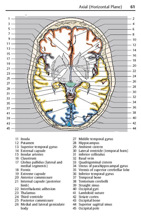 Modern Axial Brain Anatomy Vignette - Human Anatomy Images ...