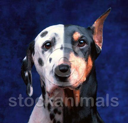 Dalmatian Doberman Mix Go Back Gallery For Dalmatian