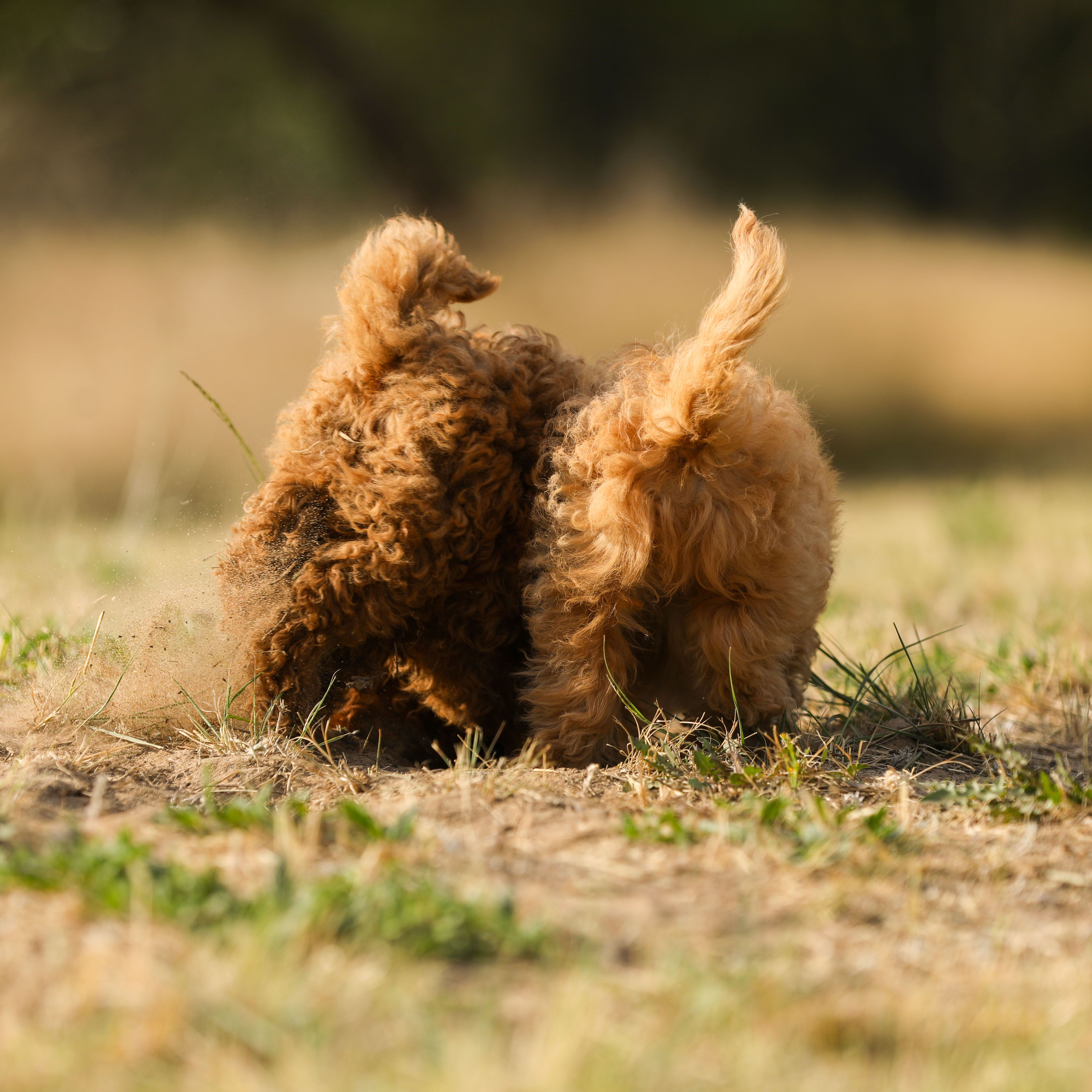 Cavoodle Puppy Bums Raggy Dogs Cavoodle Puppies Always Have Beautiful Fleecy Or Hypoallergenic Woollen Coats We Are A Dog Trainer Therapy Dogs Sporting Dogs