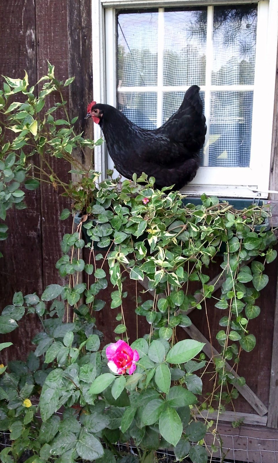 Chicken run landscaping chicken runs chickens backyard