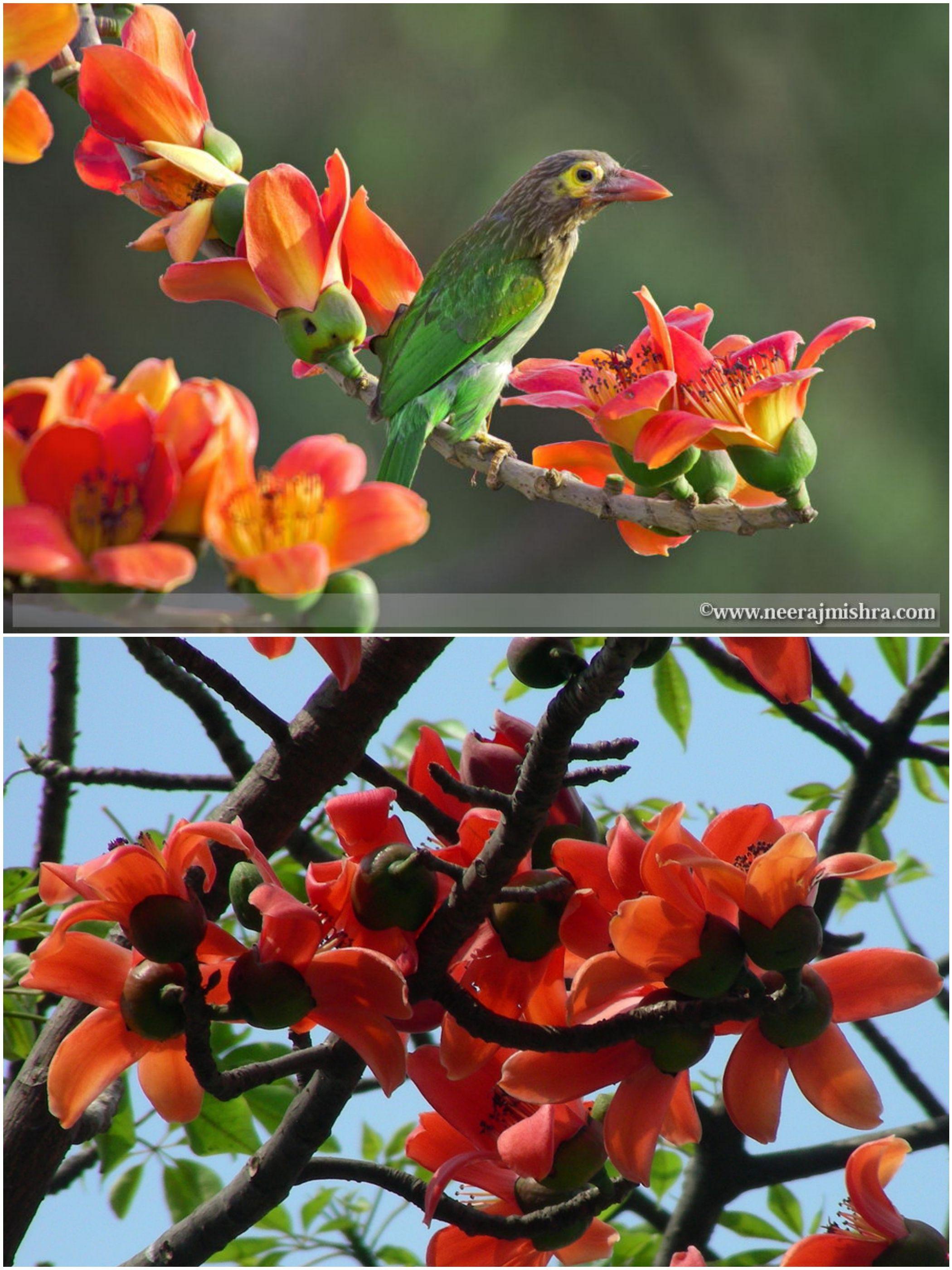 Shimul Flower (শিমুল ফুল) - Cotton Tree - Bombax Malabaricum