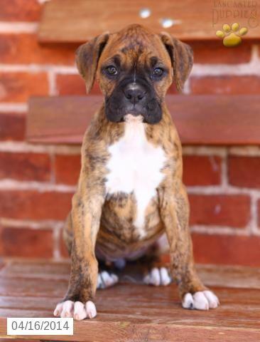 Patricia - Boxer Puppy for Sale in Lititz, PA - Boxer - Puppy for Sale