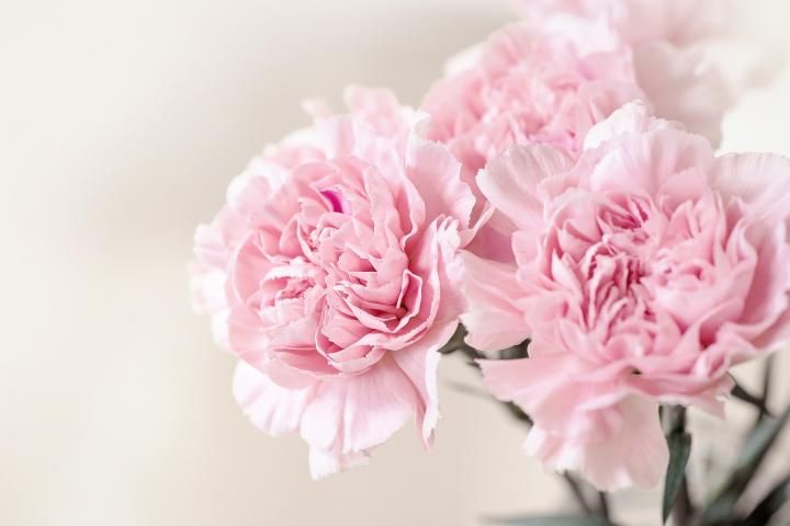 Flower meanings the language of flowers pink carnations flower meanings the language of flowers mightylinksfo