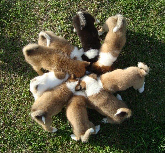 Icelandic Sheepdog Puppies Cuddly Canines Sheep Dog