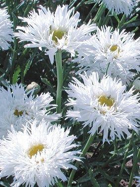 Shaggy shasta daisys projects to try pinterest shaggy shasta crazy daisy leucanthemum aglaia shasta daisy full sun perennial blooms all summer if deadheaded divide every years so fluffy pretty mightylinksfo