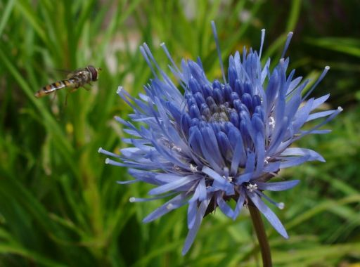 Jasione laevis [Family: Campanulaceae] - With an approaching visitor / pollinator