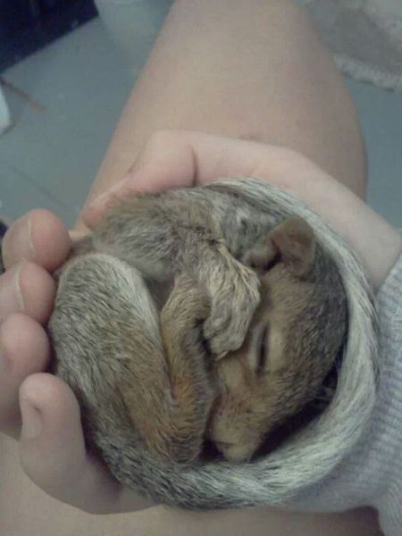 Baby Squirrel Rolled Up In Palm Of Hand