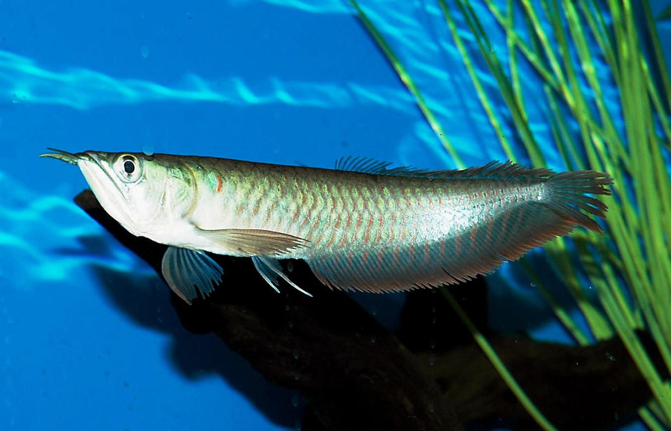 Freshwater fish for aquarium in india - The Silver Arowana Is An Extraordinary Tropical Fish For A Species Tank However They