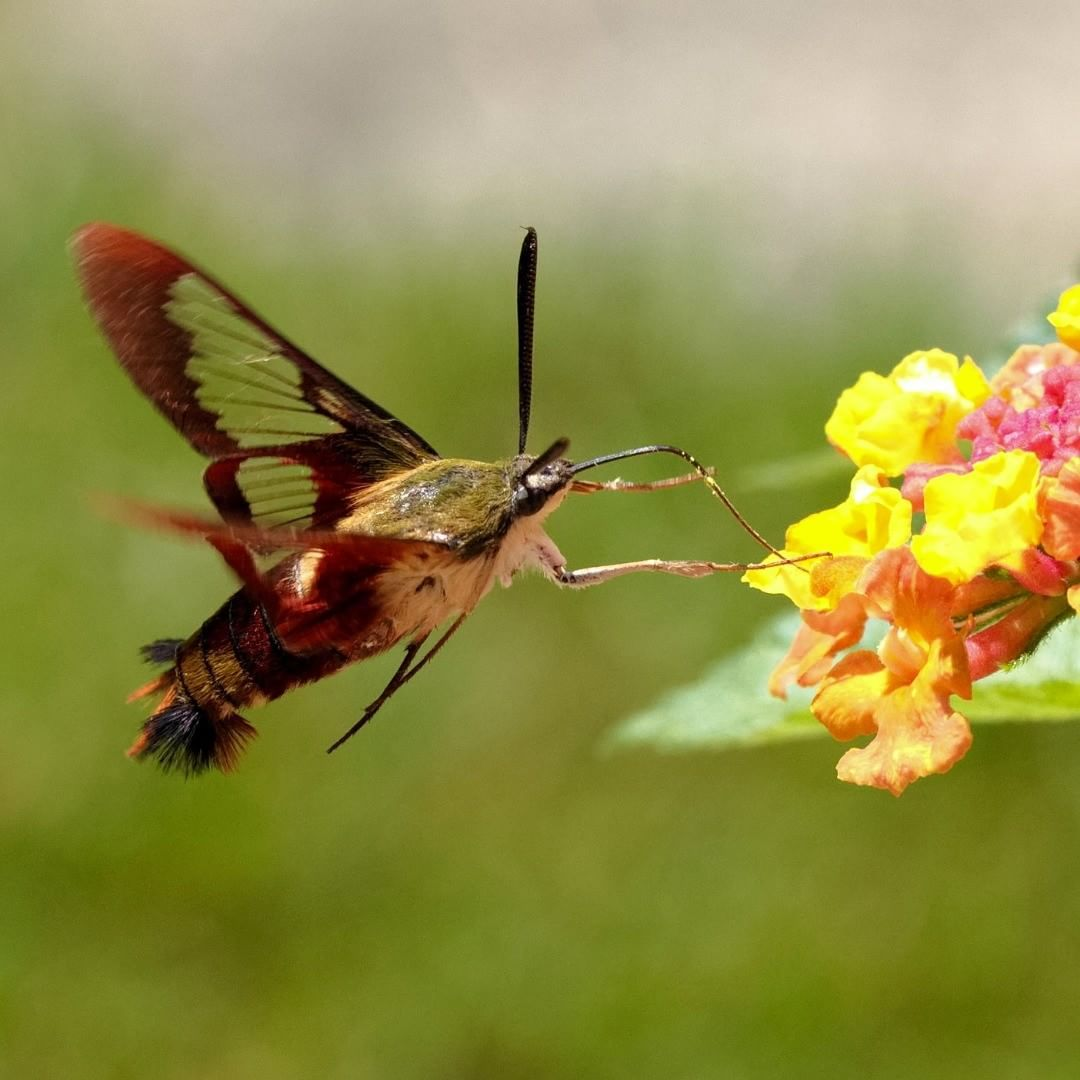 Hummingbird clearwing moth!birdsandblooms (📸 Vera Annis