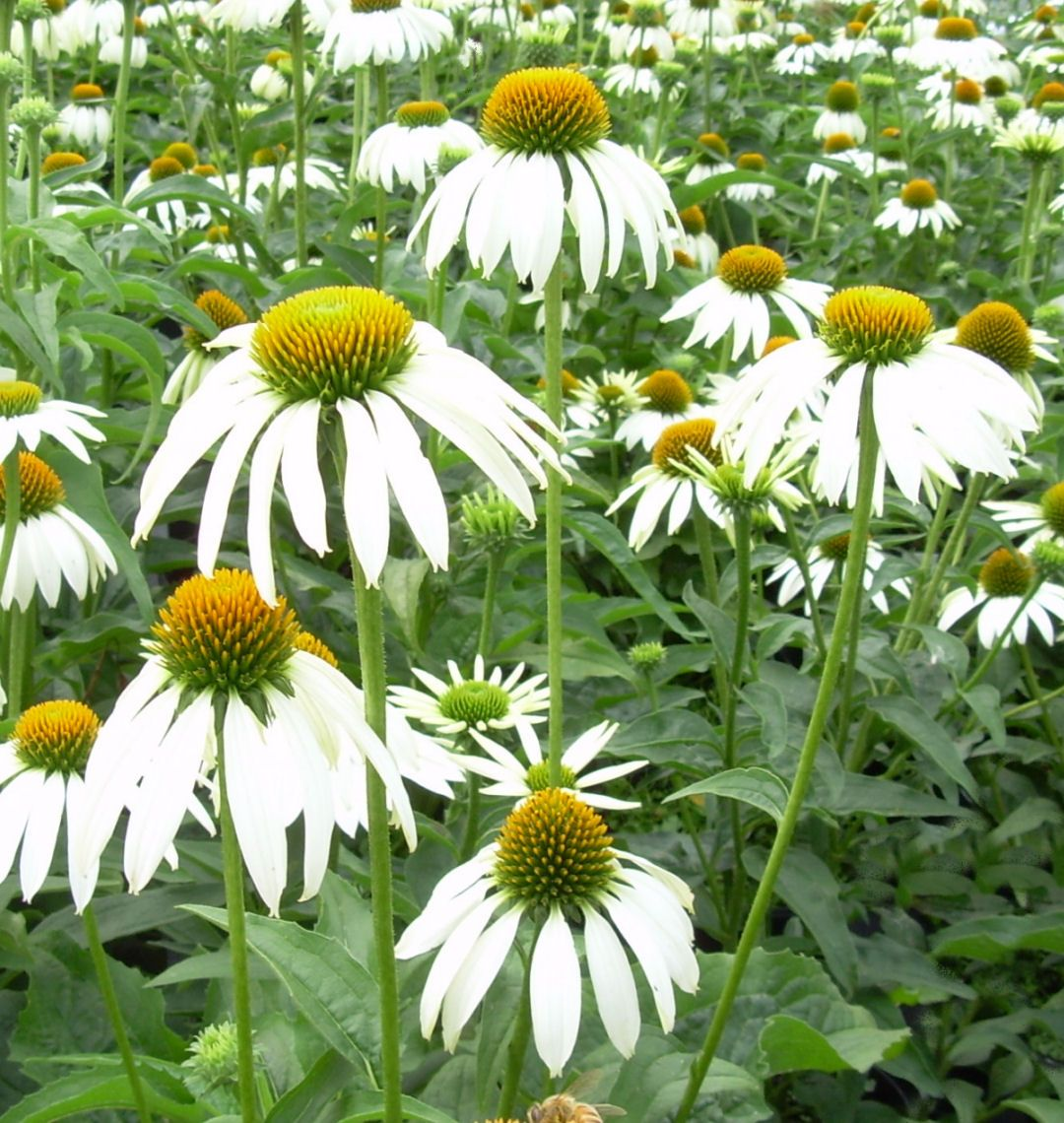 White Swan Coneflower A Popular Classic White Coneflower With