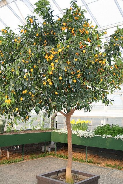 Image result for how big a pot for a kumquat tree (With ...