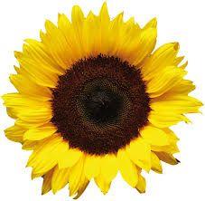 Bildergebnis für sonnenblume