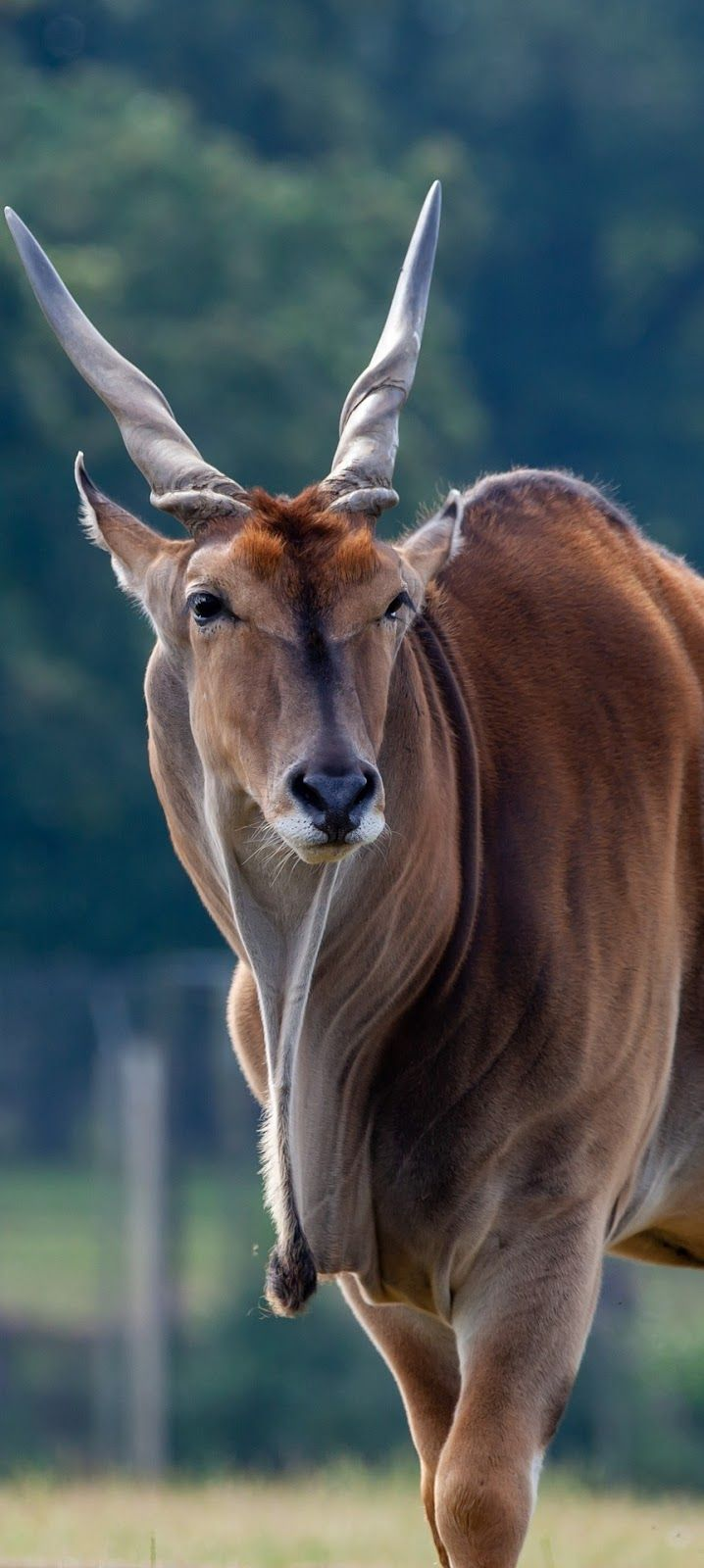 Picture of a common eland