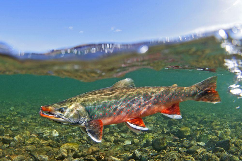 wild salmon swimming - Google Search
