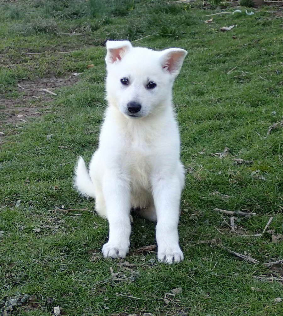 All White German Shepherd Puppies For Sale German Shepherd