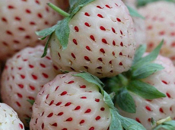 """.La fresa es una de las frutas más comunes y degustadas por todos. Pero, ¿conocéis las fresas blancas?    La Pineberry proviene de América del Sur y se cultiva en invernaderos. Comienza siendo de color verde cuando no está madura, y poco a poco va adquiriendo el color blanco con semillitas rojas hasta estar lista para comérsela. Esta frutilla es originaria de CHILE, llamada tambien """"Fragaria Chiloensis"""""""
