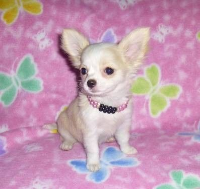 Apple Head Chihuahua Puppies Akc Champion Lines Chihuahua