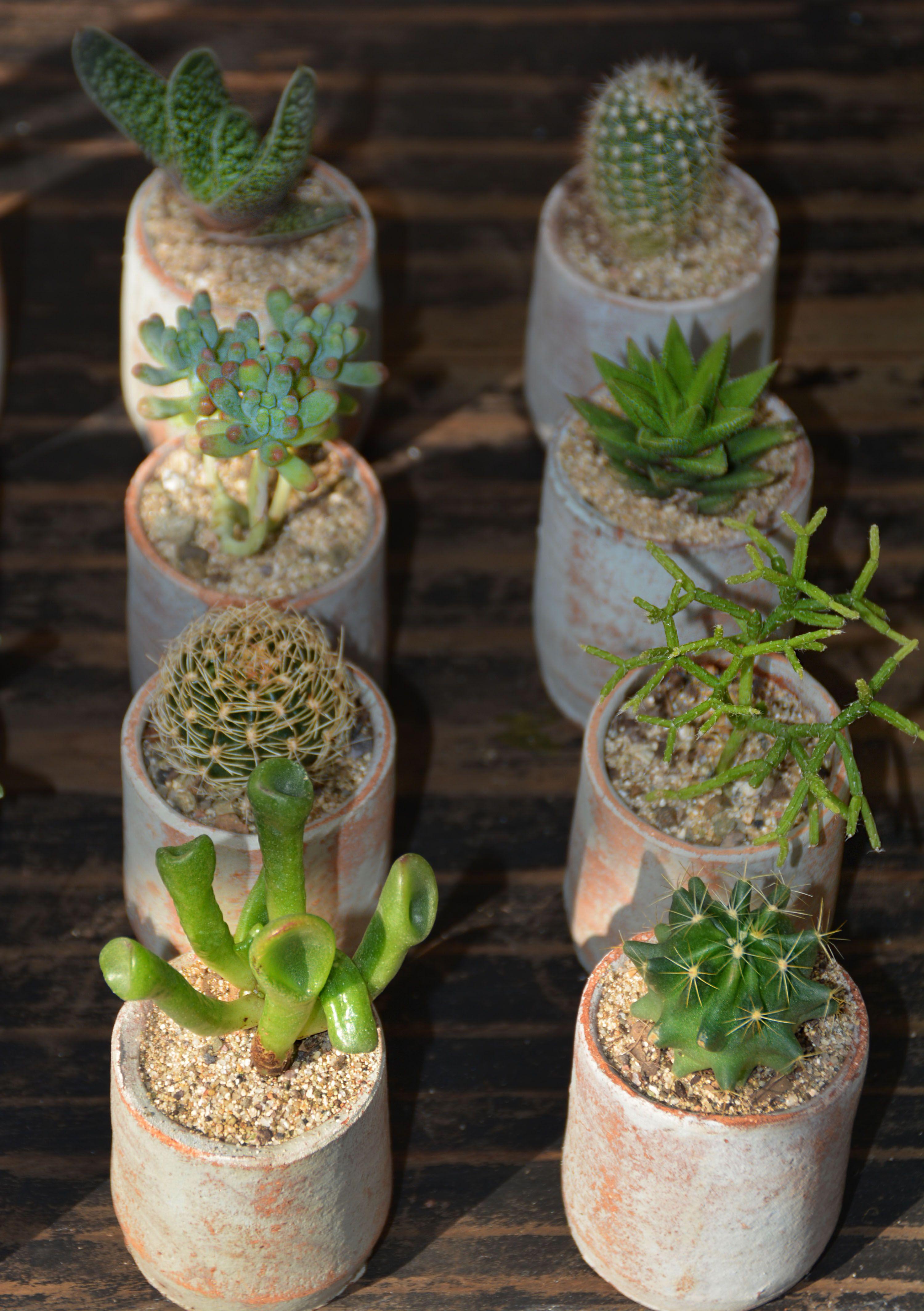 Cactus Suculenta Green Nature Garden Rustic With Images