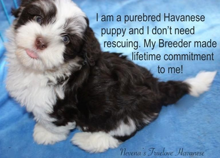 Chocolate Havanese Puppy Chocolate Havanese Puppy For Sale Chocolate Havanese Havanese Puppies Puppies Havanese