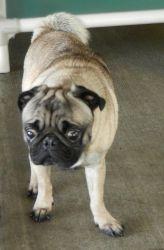 M Stray Hold Until 10 1 Pug Dog Parkersburg Wv Pug Rescue