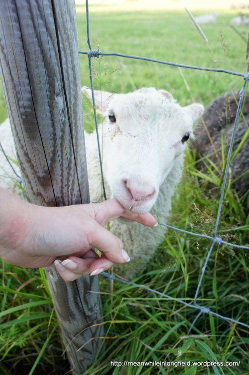 Sotunki, Finald, Suomi, Vantaa, lammas, sheep