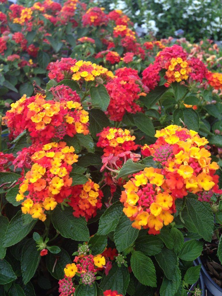 Power Flowers Lantana Lantana Summer Flower Arrangements Annual Bedding Plants