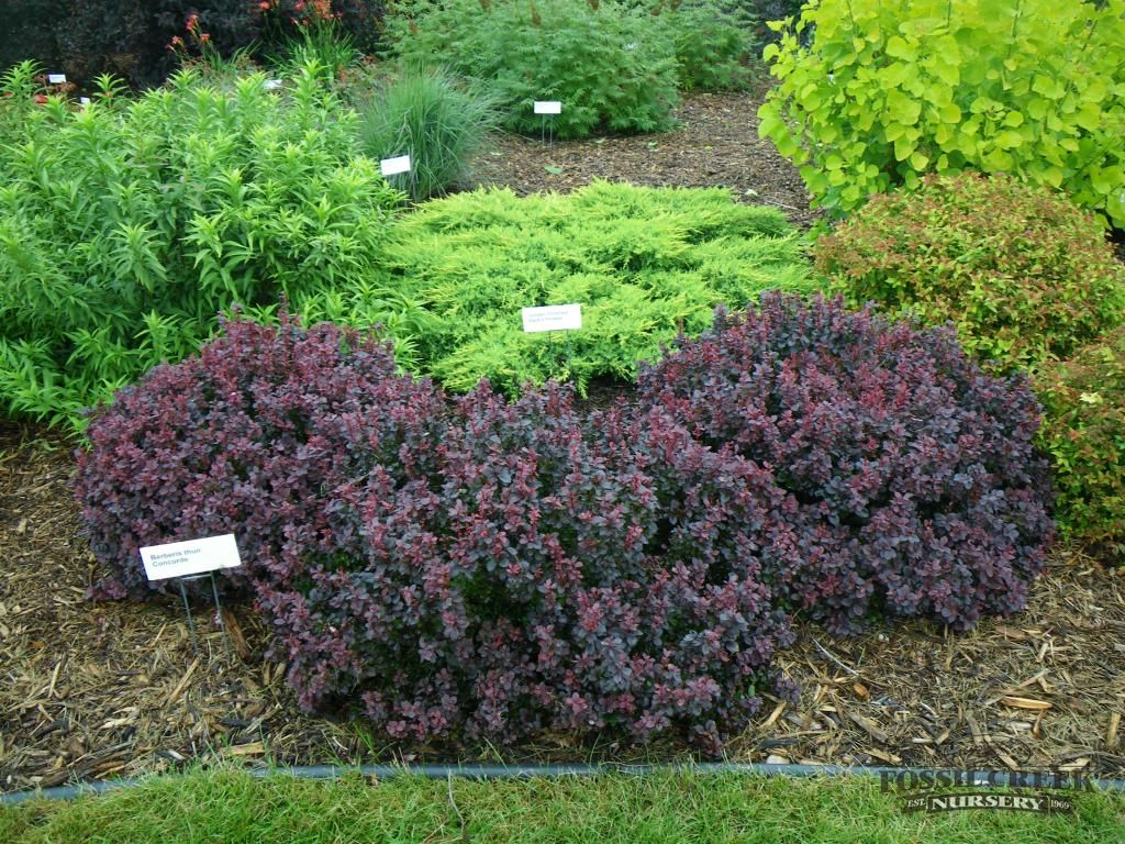 Barberry concorde jenny o landscape plan pinterest for Landscaping shrubs
