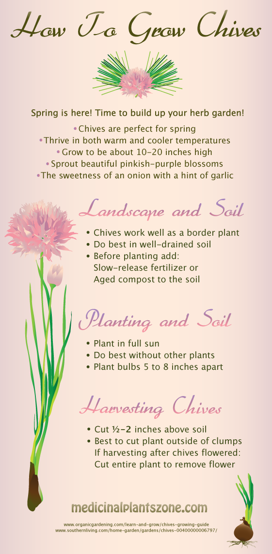 How To Grow Chives Growing Chives Chives Plant Chives