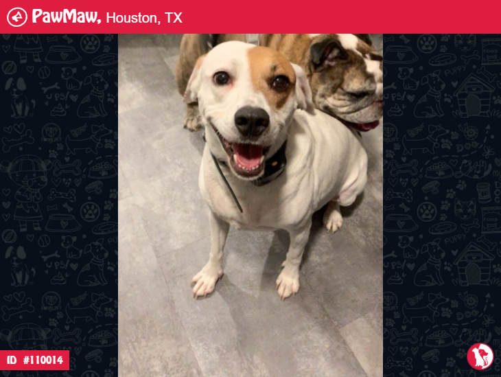 Bush A Male Dog Lost In Houston Tx White Dogs Losing A Pet Love People