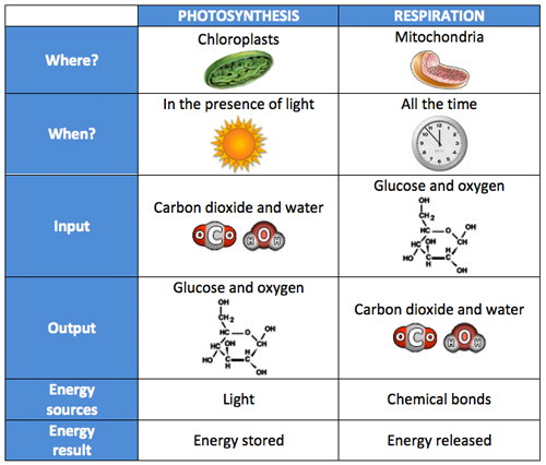 Chart comparing photosynthesis to respirationthis image is also – Photosynthesis and Cellular Respiration Worksheet Answers