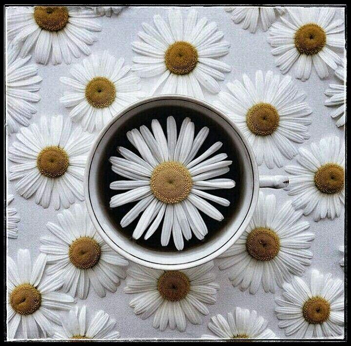 ᴴ ᵉ ˡ ˡ ᵒ daisy (With images) Daisy love, Daisy flower
