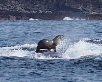 Seal spotted surfing a whale in Australia