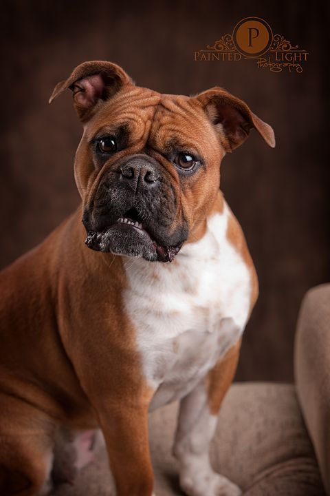 Red Deer Photography Female Olde English Bulldog Puppy Puppies