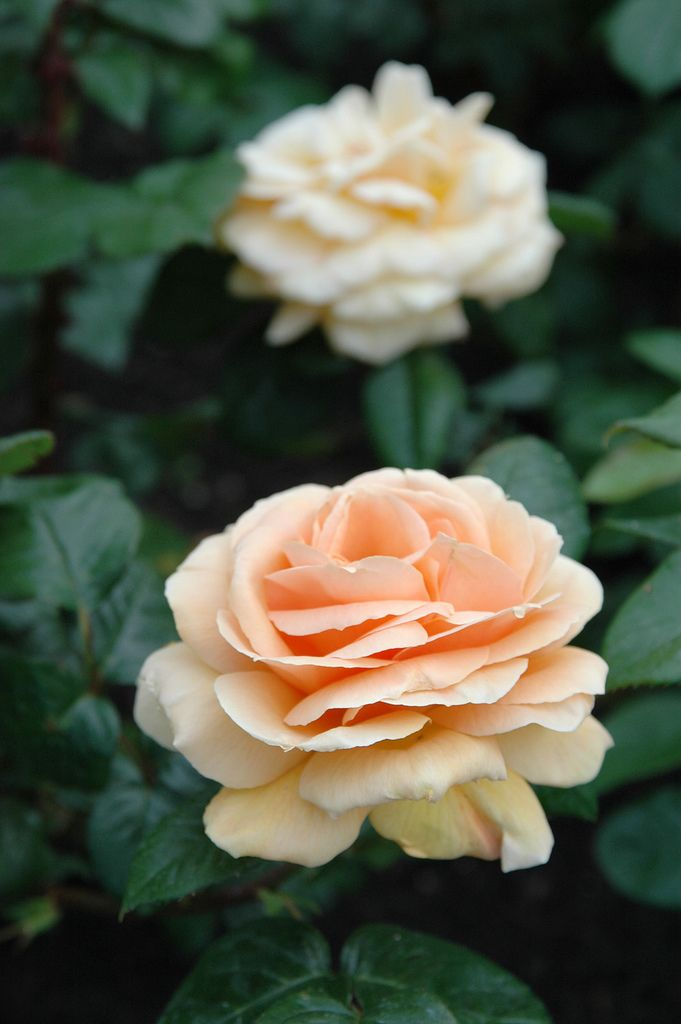 Rosa Indian Summer Most Beautiful Flowers Beautiful Roses Types Of Roses