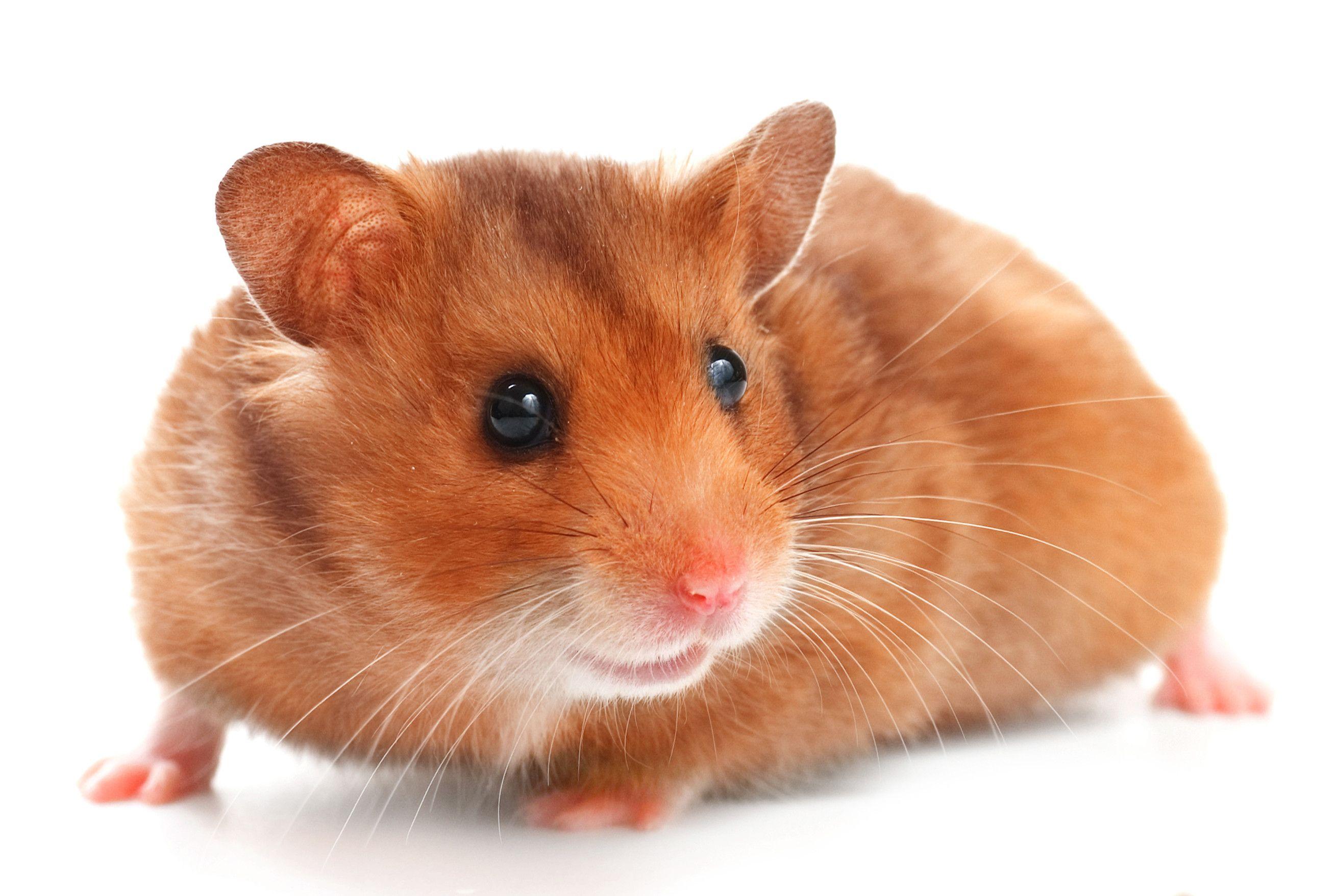 Hamstergeschenke Fur Hamsterhalter In 2020 Hamster Susse Hamster Goldhamster