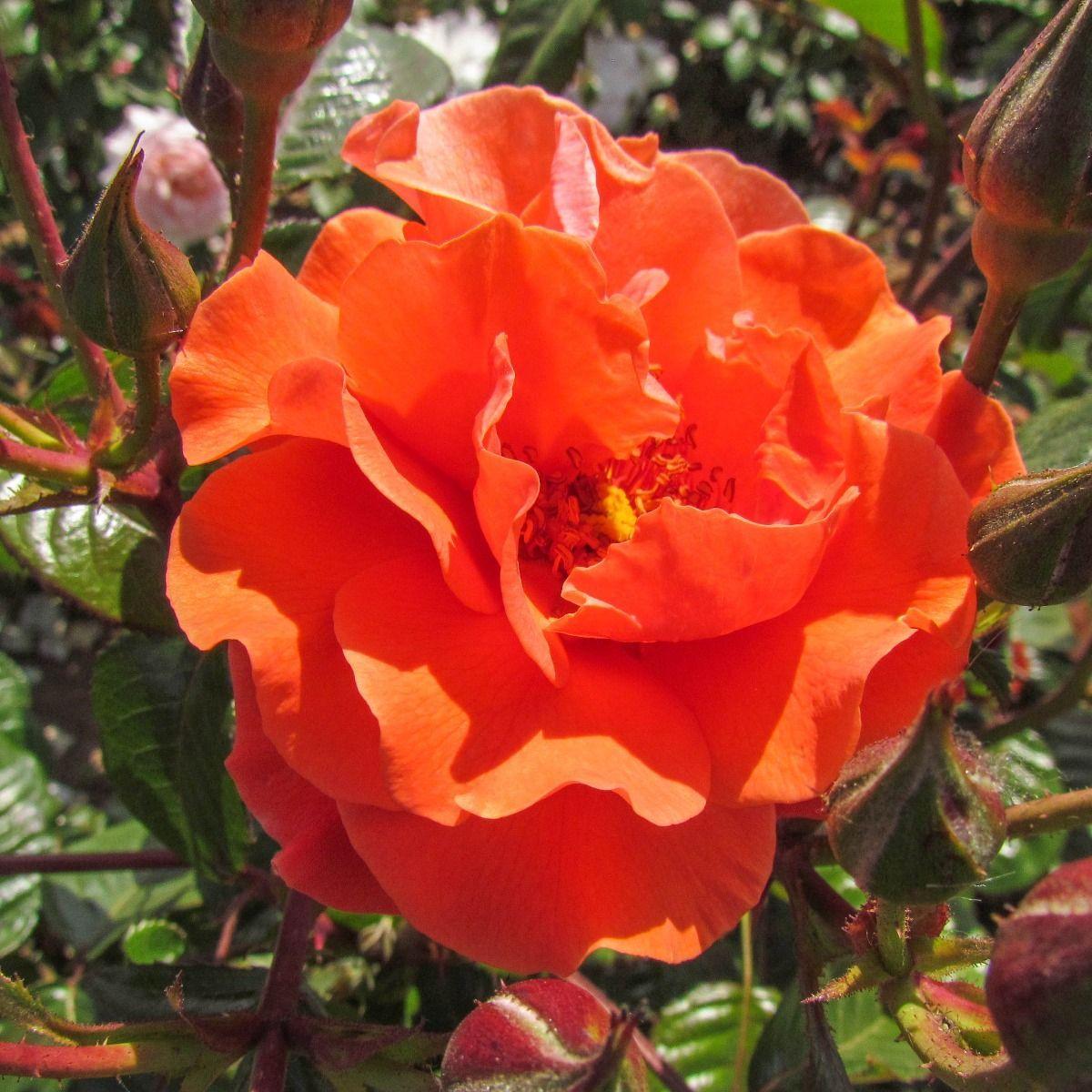 Shropshire Star | Copper Climbing Rose | Gardenroses.co.uk