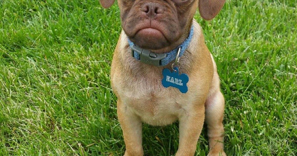 Cãozinho 'mal-humorado' vira hit após comparação com 'gata ranzinza'