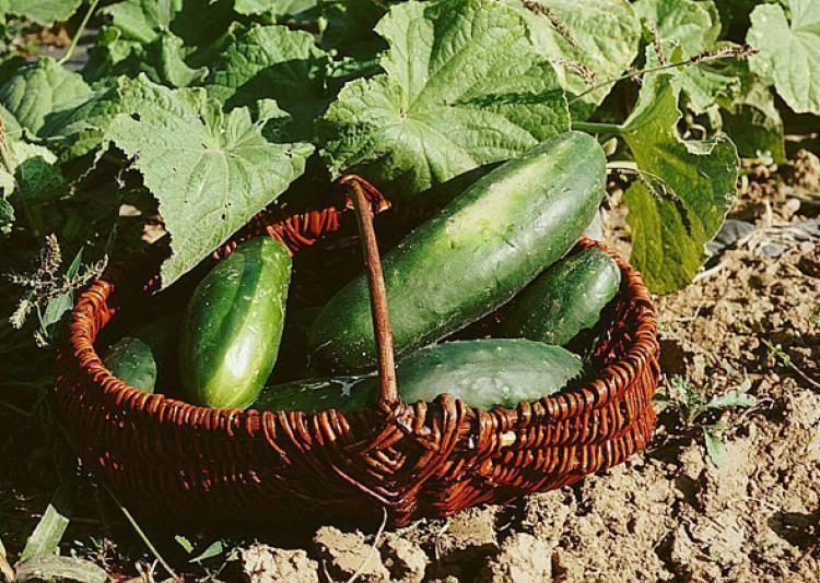 Cultiver le et le cornichon du semis à la